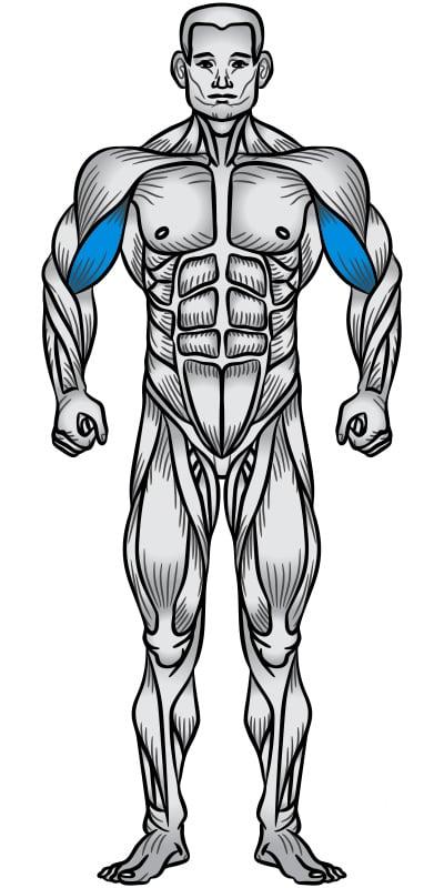 Biceps Muscle Anatomy Diagram