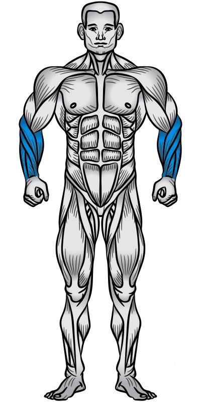 Forearms Muscle Anatomy Diagram