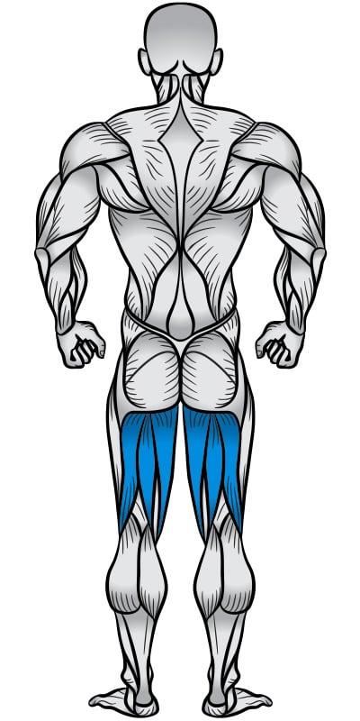 Hamstrings Muscle Anatomy Diagram