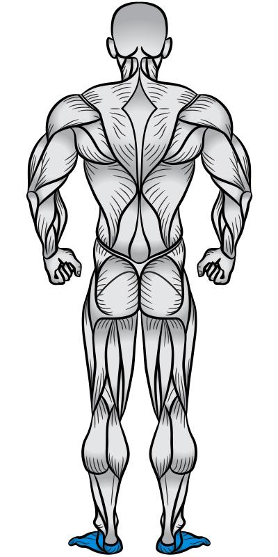 Plantar Fascia Muscle Anatomy Diagram