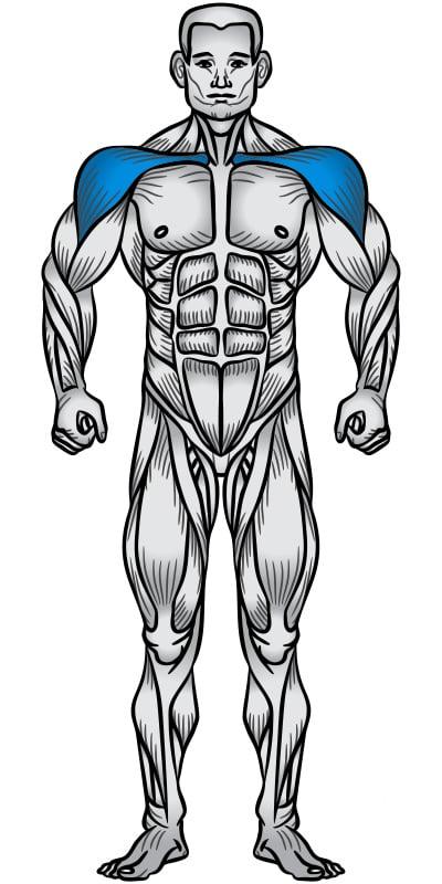 Shoulders Muscle Anatomy Diagram
