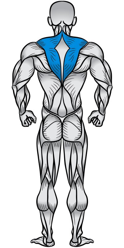 Traps Muscle Anatomy Diagram