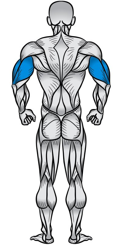 Triceps Muscle Anatomy Diagram