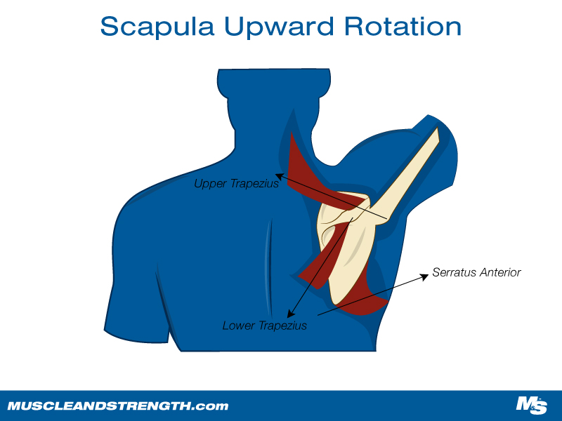 A Diagram of Scapula Upward Rotation