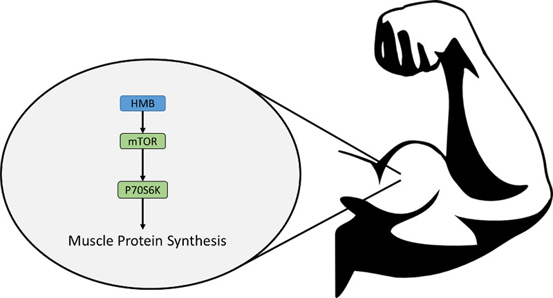 HMB: Hype or Help? Protein Muscle Synthesis