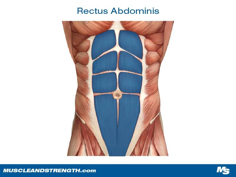 Core Muscles Core Muscles Rectus Abdominis